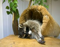 Raccoon resting. Funny raccoon looks at the frame Stock Photo