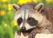 Raccoon resting Royalty Free Stock Image