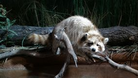 A Raccoon Resting On A Limb royalty free stock photo