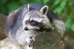 Raccoon resting on a log Royalty Free Stock Image