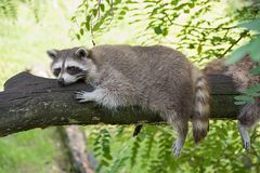Raccoon resting on a tree branch on a warm day. royalty free stock images