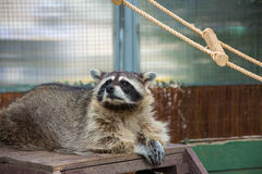 Raccoon resting. On wood plank stock photography