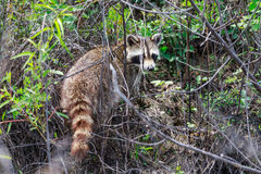 Raccoon returning to the woods after foraging for food near the river bank in Bald Knob National Wildlife Refuge in Bald Knob Royalty Free Stock Photo