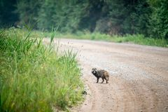 Raccoon on a road, wildlife animal royalty free stock image
