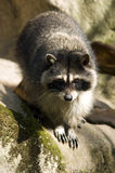 Wild Raccoon on a Rock Looks for Danger Stock Photo