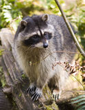 Raccoon Wildlife Stands on Logs Sniffing Air Stock Photography