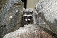 Raccoon in the rocks. A small raccoon, Procyon Lotor, crawls in the rocks at Westhaven Cove in Westport, Washington Stock Photos