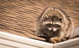 Raccoon on rooftop. Mischievous Raccoon watching from rooftop Stock Images
