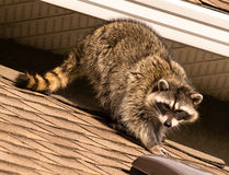 Raccoon on roof. Raccoon walking on rooftop in the morning Royalty Free Stock Image