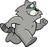 Raccoon Running Stock Photography