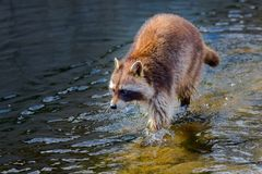 Raccoon walking through the water royalty free stock photography