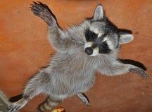 Raccoon sciocco Fotografia Stock