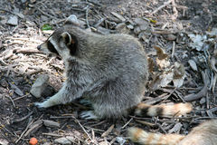 Raccoon scouring for food Royalty Free Stock Photos