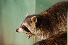 Raccoon screaming  Royalty Free Stock Images