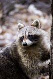 Raccoon on the search for food Stock Image