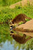 Raccoon seeing his water reflection. Stock Image