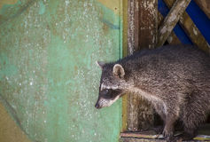 Raccoon seeking food. This crafty raccoon was ready to steal some food from the visitors of the Manuel Antonio National Park in Costa Rica Royalty Free Stock Image
