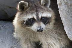Raccoon selvaggio Fotografia Stock