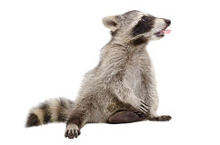 Raccoon, that shows tongue Stock Photography