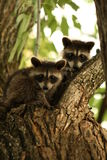 Raccoon Babies Royalty Free Stock Photos