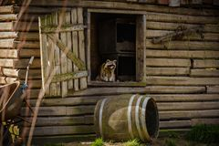A raccoon sits proudly in the window opening of a wooden farmer` royalty free stock images