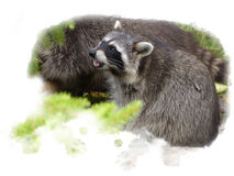 Raccoon sits sniffing on his rear paws Stock Photo