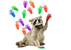 Raccoon sitting on the background of handprints. On white background stock images