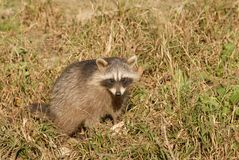 Raccoon Royalty Free Stock Images