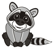 Raccoon sitting face tilted forward. On a white background Royalty Free Stock Images