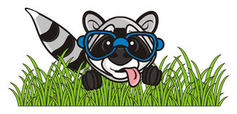 Raccoon sitting in the grass Royalty Free Stock Photo