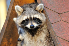 Raccoon. A  raccoon is sitting in a house and looking Royalty Free Stock Photos