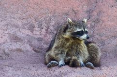 Raccoon sitting on rock royalty free stock photo