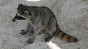 Raccoon is sitting on the sand. Royalty Free Stock Photography