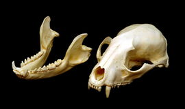 Raccoon Skull Stock Image