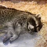 Raccoon sleeping in a cage stock images