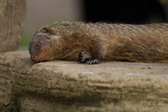 Raccoon sleeping Royalty Free Stock Images