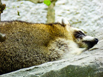 Raccoon sleeping Stock Photography