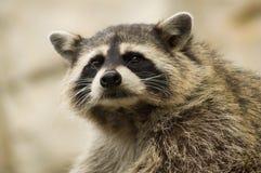 Raccoon snout Royalty Free Stock Photos