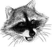 Raccoon snout. Vector image of the head of a wild raccoon vector illustration