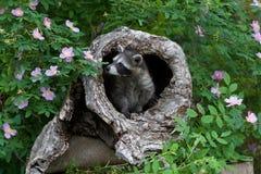 Cute Baby Raccoon stock photography