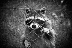 Raccoon Standing Behind Chain Link Fence stock photography
