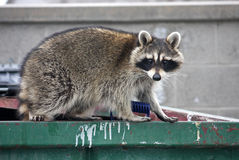 Raccoon. Standing on a dumpster Royalty Free Stock Photography