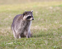 Raccoon standing on green grass in middle of field in county par Royalty Free Stock Image