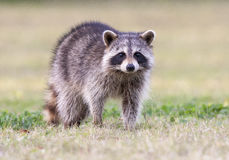 Raccoon standing on green grass in middle of field in county par Royalty Free Stock Images