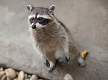 Raccoon standing Stock Photo