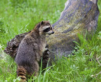 Raccoon standing by log Royalty Free Stock Photo