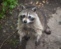 Raccoon standing and looking up Stock Photo