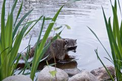 Raccoon is standing on the shore of the pond, royalty free stock photos