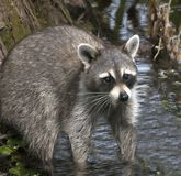 Raccoon Looking For Food stock photography