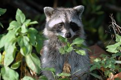 Raccoon Stands at Attention. A raccoon's curiosity is piqued and it rises to get a better look Stock Photos